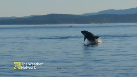 ORCAS PUT ON A JAW-DROPPING SHOW OFF B.C. COAST