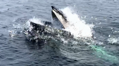 HUNGRY HUMPBACK WHALES FEED EXTREMELY CLOSE TO THE HARBOUR