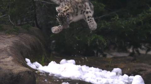 SNOW LEOPARD HAS THE PERFECT FIRST REACTION TO SNOW