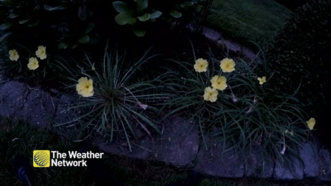WATCH EVENING PRIMROSE BLOOM OVERNIGHT IN TIMELAPSE