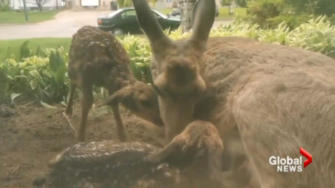 DOE GIVES BIRTH RIGHT OUTSIDE COUPLE'S LIVING ROOM WINDOW
