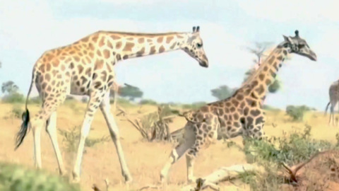 DISCOVERY OF DWARF GIRAFFES INTRIGUES SCIENTISTS