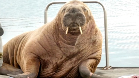 WALLY THE WALRUS IS FINALLY HEADING BACK TOWARDS HIS HOME