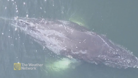 DRONE CATCHES INCREDIBLE SHOT OF WHALE AS IT WAKES FROM A NAP