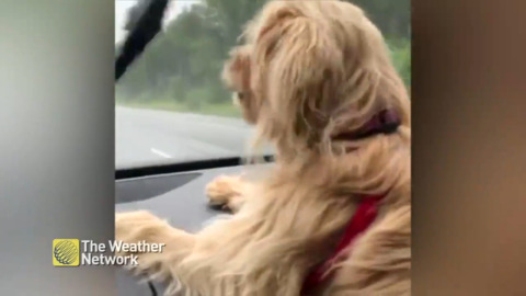 DOG IS DETERMINED TO CATCH PESKY WINDSHIELD WIPERS