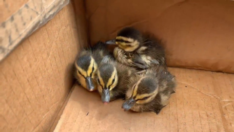 'THAT'S GENIUS:' FIREFIGHTERS USE DUCK CALLS TO RESCUE DUCKLINGS FROM STORM DRAIN