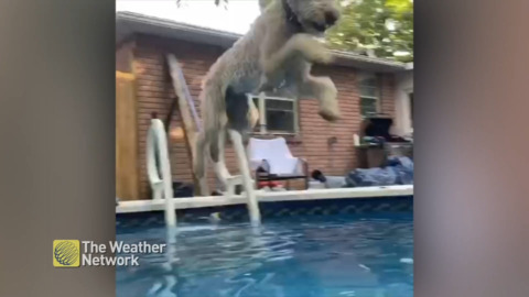 WATCH POOL-LOVING DOG JUMP IN ON HOT SUMMER DAY