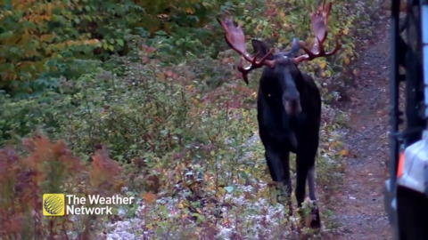 LARGE BULL MOOSE MAKES HIS WAY OUT OF THE FOREST AND APPROACHES MAN