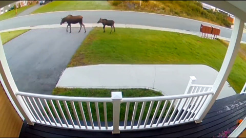 MAMA MOOSE AND BABY MAKE REPEAT VISIT TO NEWFOUNDLAND HOME
