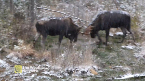 WATCH TWO BULL MOOSE HEAD-TO-HEAD IN THE SNOW