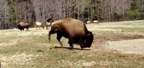 PLAYFUL BISON WELCOMES SPRING WITH A 'HAPPY DANCE' IN VIRAL VIDEO