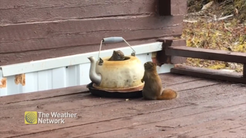RAMBUNCTIOUS SQUIRRELS PLAY 'WHACK-A-MOLE' WITH OLD TEAPOT