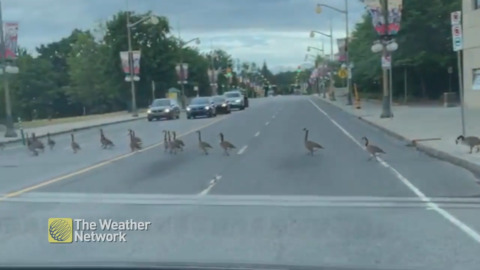 TRY NOT TO LAUGH: NEVER-ENDING LINE OF GEESE STOPS TRAFFIC, AND WOMAN CAN'T HANDLE IT