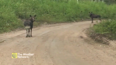 """WHO YOU LOOKING AT?"" MOOSE JUST MINDING THEIR BUSINESS ON A RURAL ROAD"