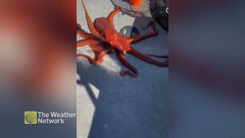SURPRISE CATCH! A LARGE PACIFIC OCTOPUS WANDERS ONTO B.C. BOAT
