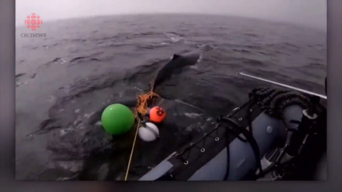 DISTRESSED WHALE CALF DISCOVERED TANGLED IN ABANDONED FISHING GEAR