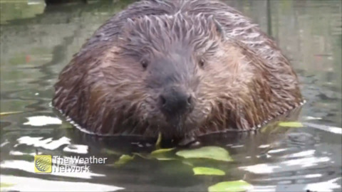 HAVE YOU EVER BEEN THIS CLOSE TO A BEAVER?