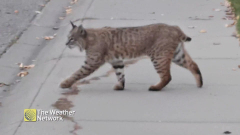 JUST A (VERY) LARGE KITTY GOING FOR A CASUAL STROLL ACROSS THE STREET