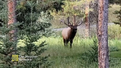 THIS ELK HAS SOME SERIOUS PIPES! LISTEN TO IT ECHO THROUGH THE WOODS