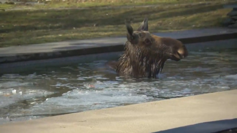 MOOSE TAKES A DIP IN QUEBEC SWIMMING POOL