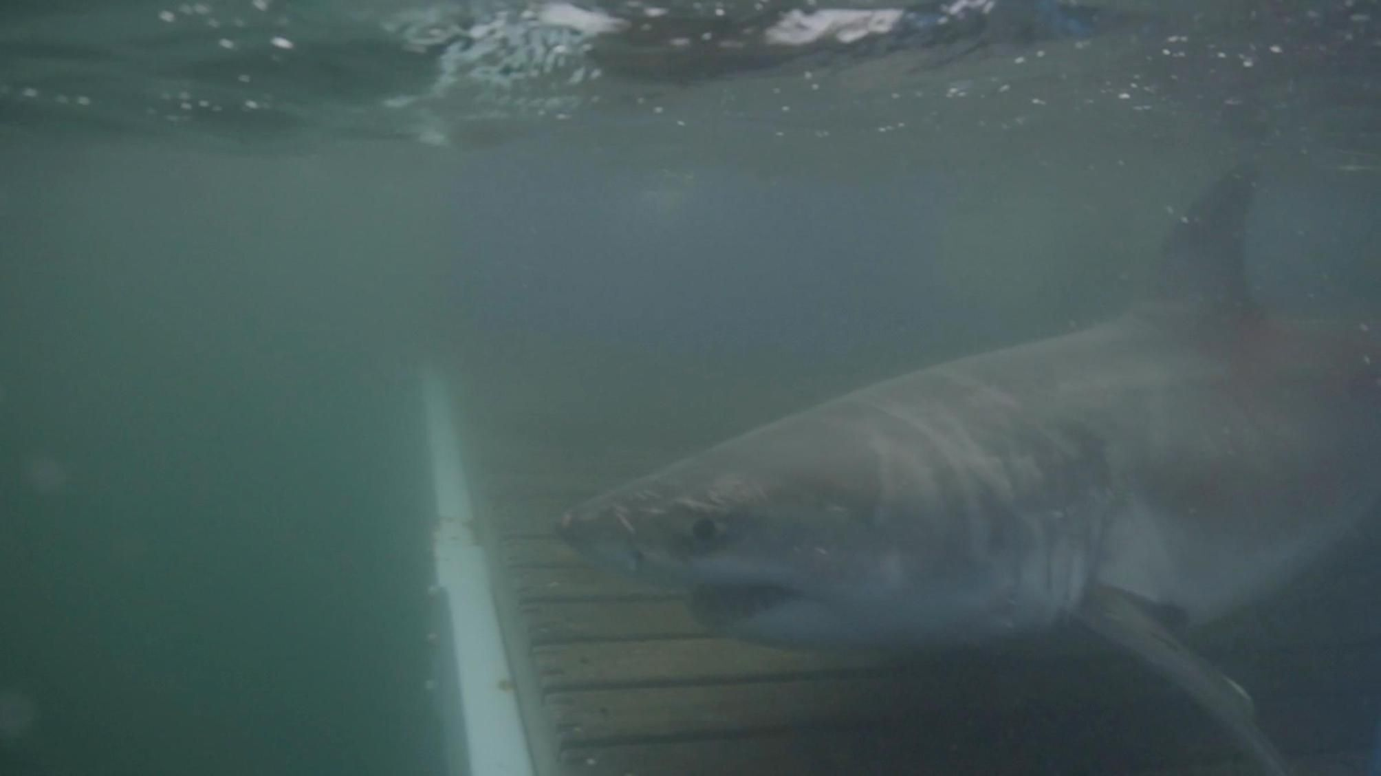 Researchers: Cabot the great white shark tracked out to sea