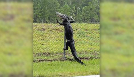 INONDATIONS EN FLORIDE, DES ALLIGATORS PARTOUT