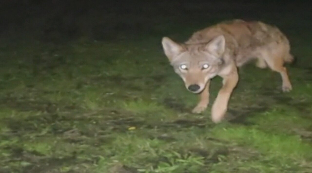 QUOI FAIRE SI VOUS RENCONTREZ UN COYOTE ?