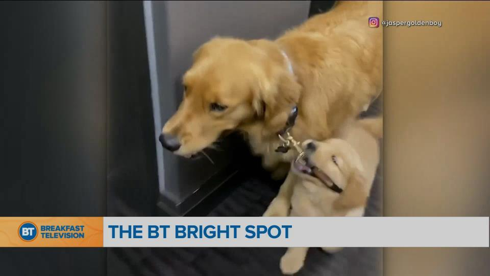 BT Bright Spot: Puppy takes big brother for walk