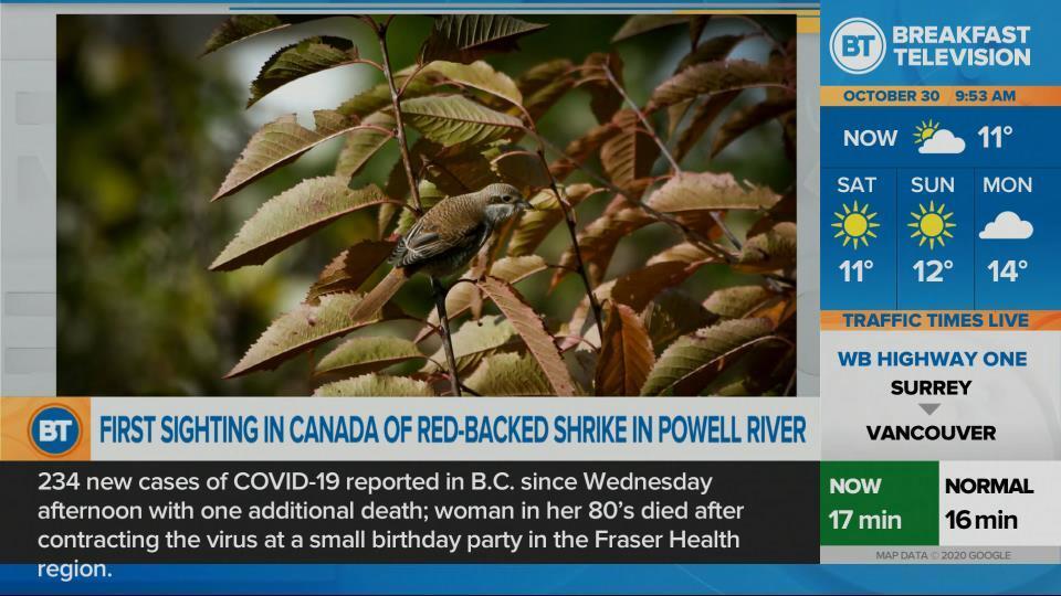 Rare bird found in Powell River