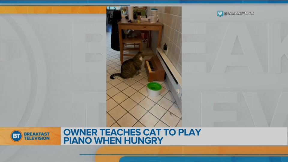 Cat plays piano to let owner know she's hungry