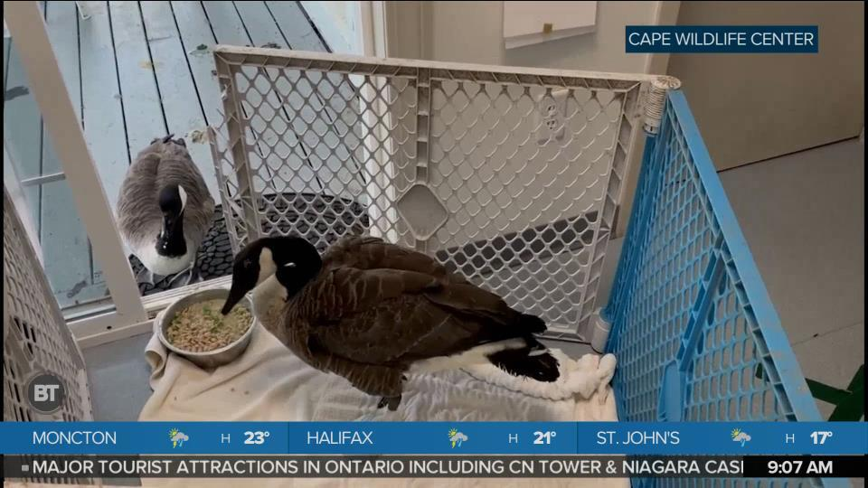 BT Bright Spot: Geese Fall in Love