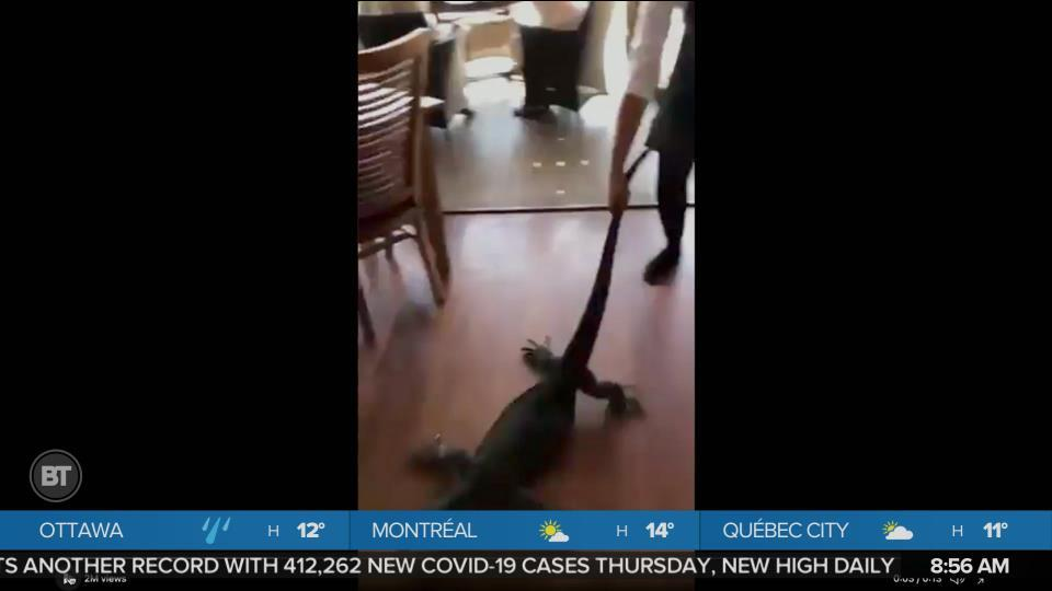 Giant Lizard Dragged Out of Restaurant in Australia
