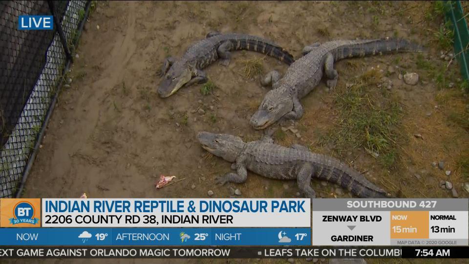 Feeding the Alligators!