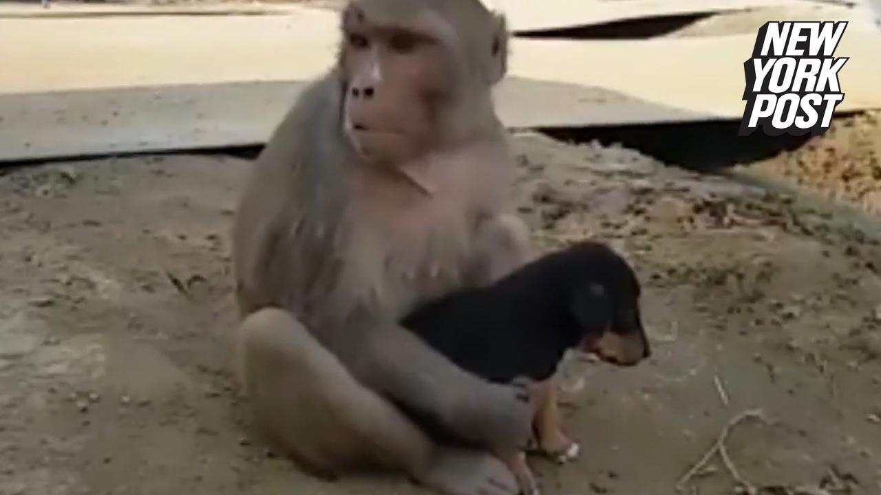 Mama monkey will do anything to protect this little puppy