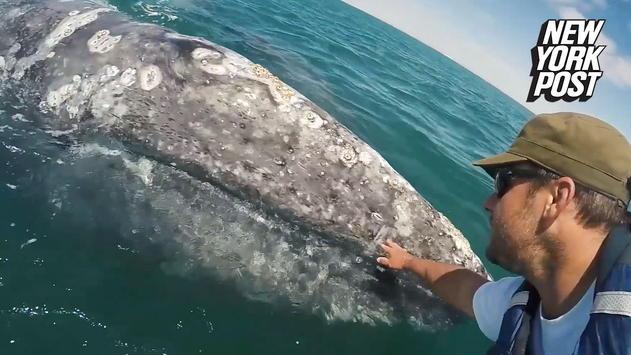Sweet moment a baby whale and boaters bond over petting