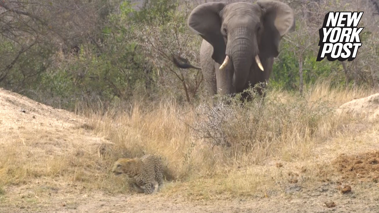 Angry elephant confronts leopard in animal kingdom showdown