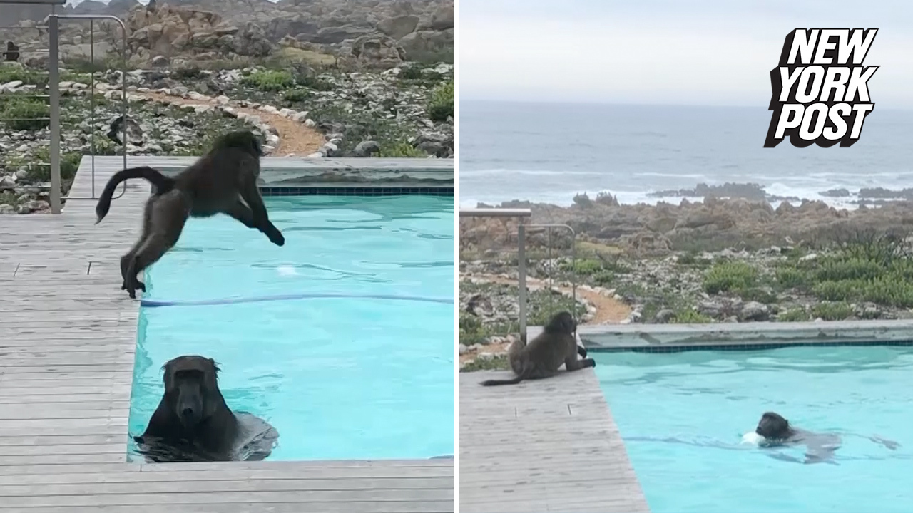 Baboons take a leisurely dip in this guy's pool