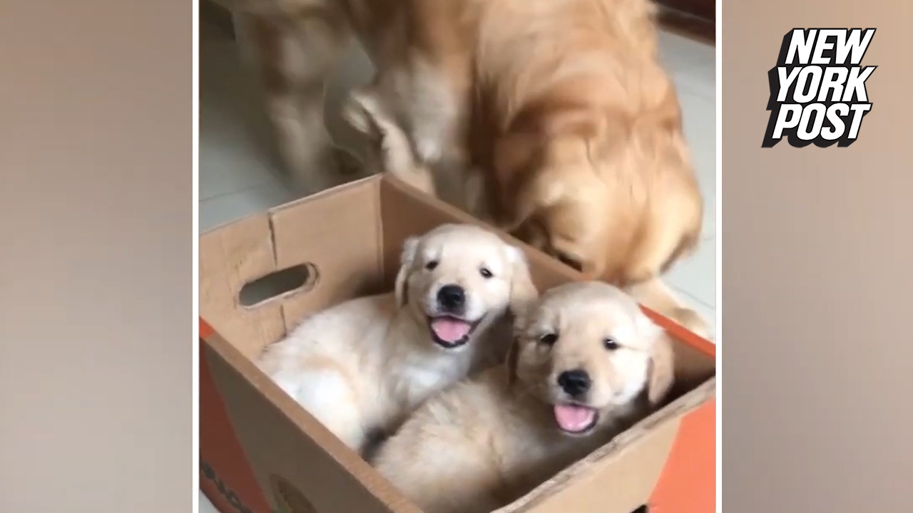 Funny moment golden retriever pees on pups