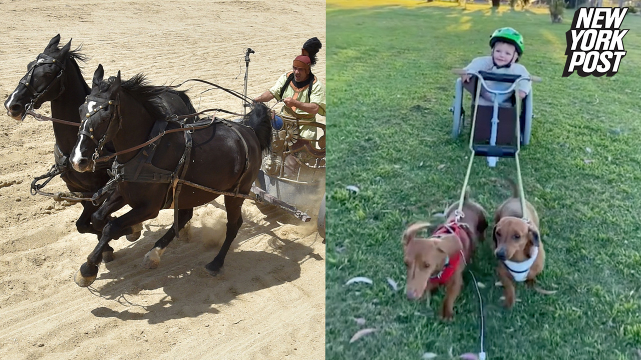 Dachshunds pulling baby in a chariot is 'Ben-Hur'-larious