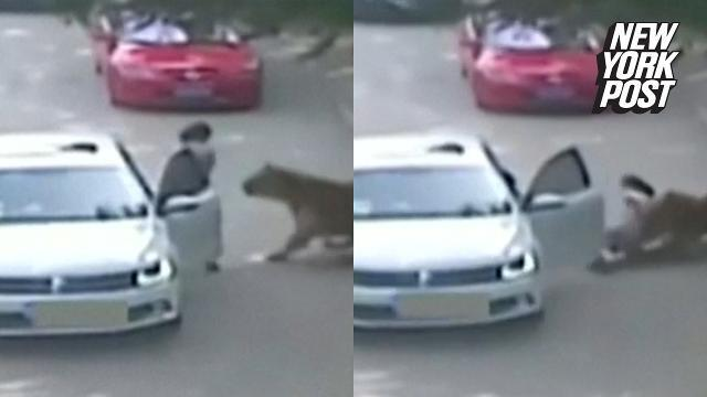 Woman pays ultimate price after getting out of car inside tiger exhibit