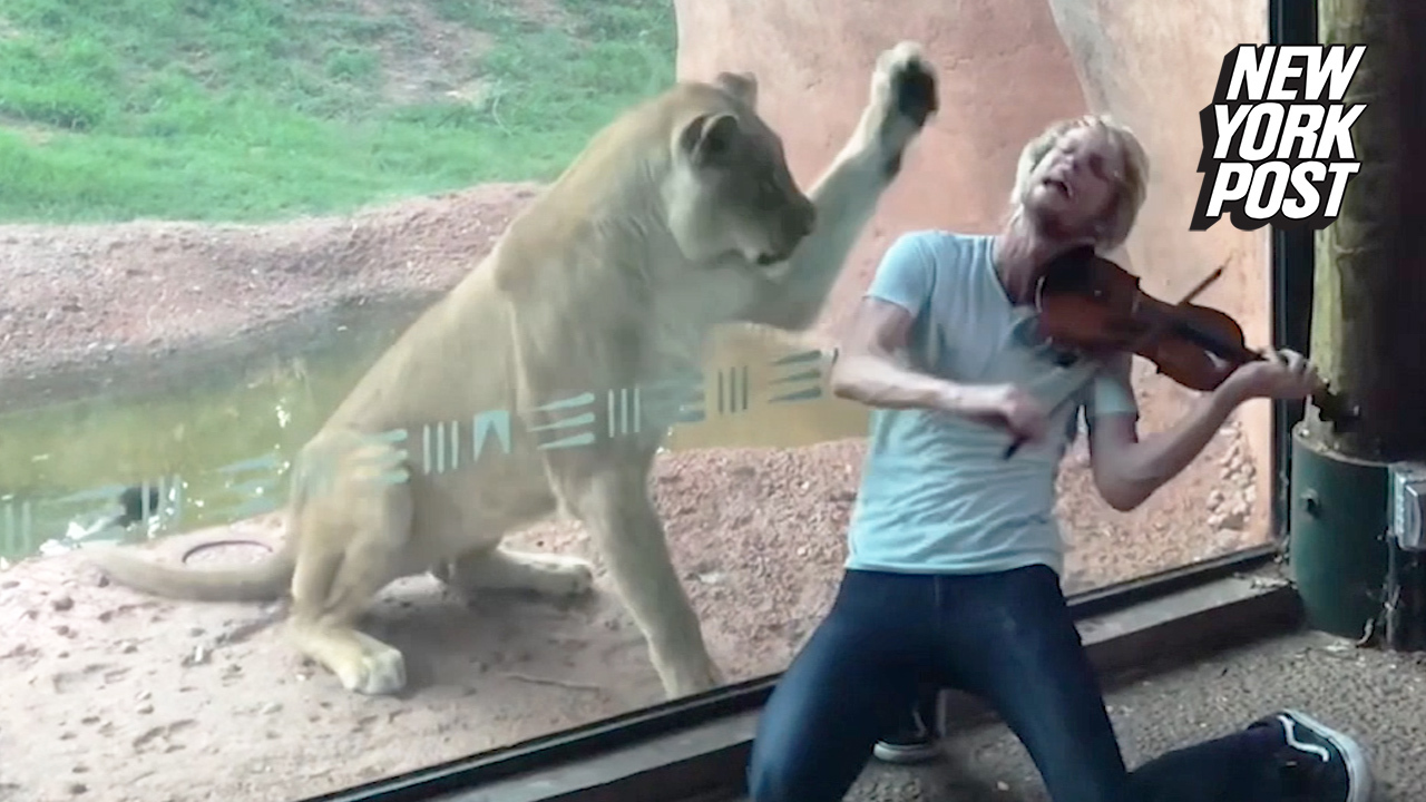 Lioness would rather maul musician than hear his violin
