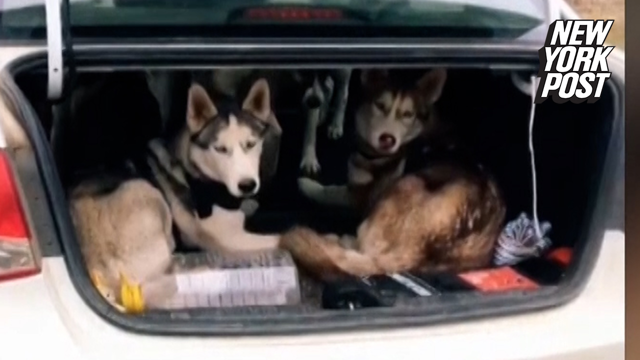 Huskies jump out of small trunk like a clown car