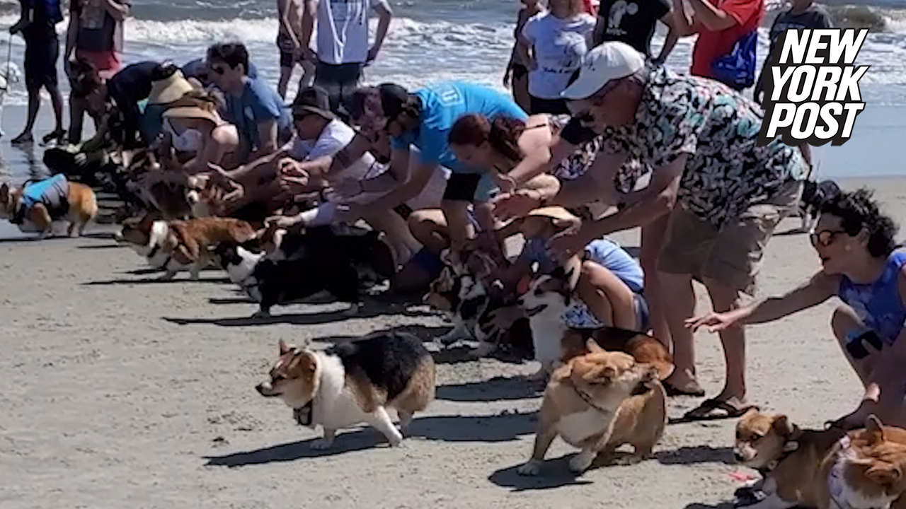 Corgis might not be the brightest bunch — but they sure are hilarious. Watch as dozens of corgis attempt to run a race during a meet-up for the short-legged dog breed on St. Simons Island, Georgia.