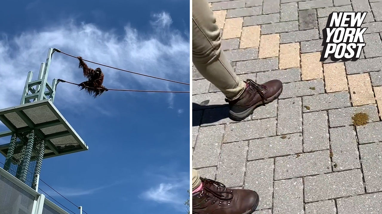 Orangutan at Washington zoo thrills visitors with high-wire poop