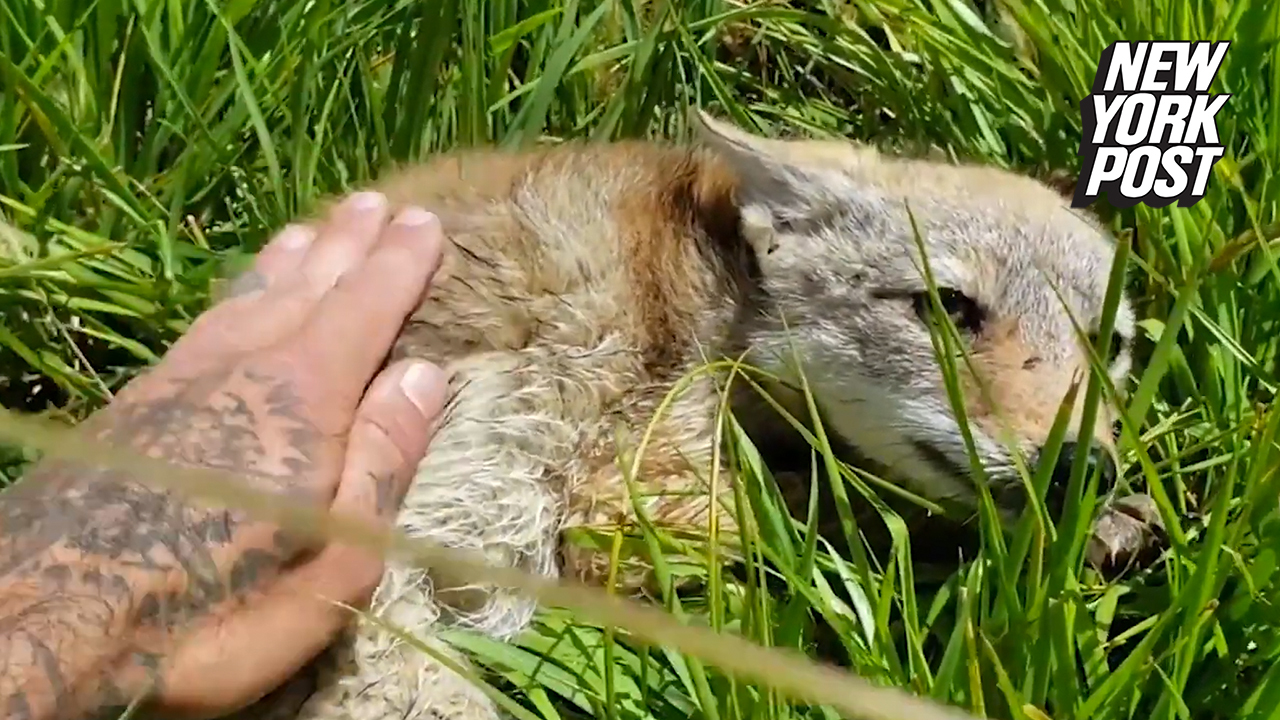 Man saves coyote pup in sweet rescue video