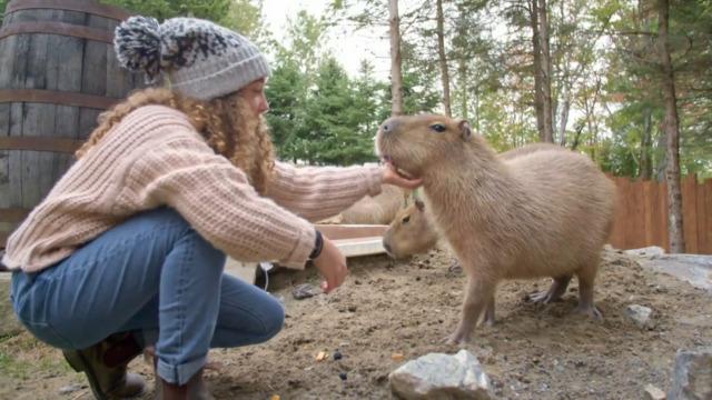 Les capybaras