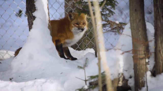 Les renards