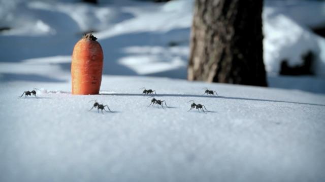 Carotte des neiges