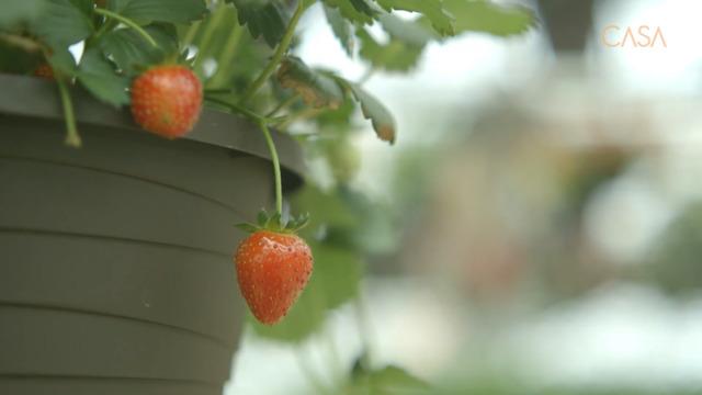 Cultiver des fruits frais en pots