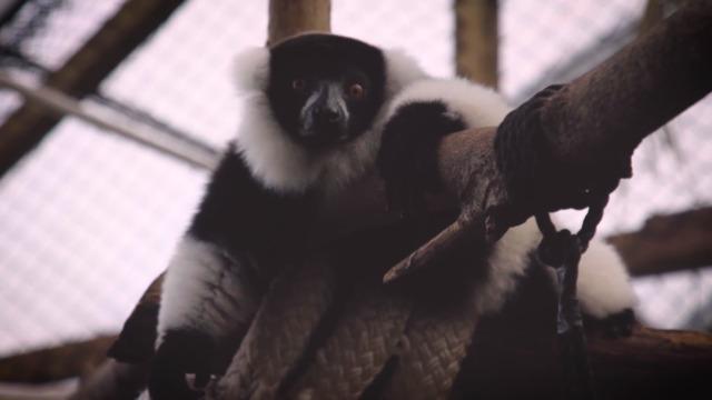 Les lemurs